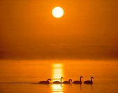 Swans swimming in lake at sunset