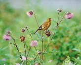 Oriental Greenfinch perched amongst thistles, Hokkaido, Japan
