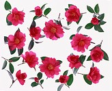 Camellias against white background