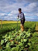 Crops, Hoeing Kale,