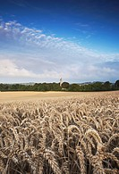Field of wheat and barley with round tower of Monasterboice, County Louth, Ireland