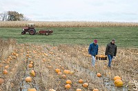 Farmers carrying pumpkins through field