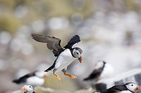 Atlantic puffin, Farne Islands