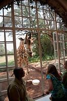 Rothschild giraffe in zoo, Nairobi, Kenya, Africa