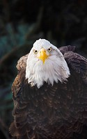 Portrait of bald eagle Haliaeetus leucocephalus, Minnesota, USA