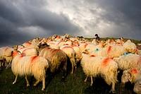 Flock of sheeps  Belagua valley  Navarra  Spain