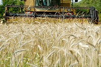 Stock photo of a combine harvester cutting wheat  The image shows the approaching blades of the combine harvester