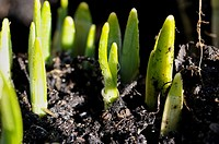 Stock photo of Daffodils starting to shoot in the garden