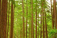 Large Coniferous Trees With Green Branches, in Forest