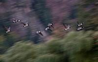 Blurred Flock of Canadien Gees Flying