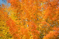Red and yellow leaves on a maple tree in autumn, Middlebury, Vermont, New England, United States America, North America