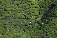 View of BOH Tea Plantation, Cameron Highlands, Malaysia, Southeast Asia, Asia