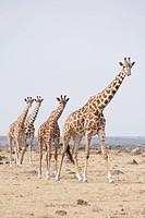 Herd of giraffes, Masai Mara, Kenya, Africa