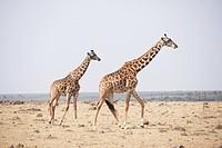 Pair of giraffes, Masai Mara, Kenya, Africa