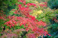 Japanese Maple Acer plamatum, tree showing autumn colour, Germany