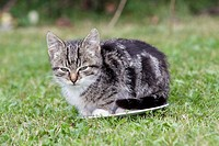 Cat, young grey striped kitten, sitting on plate in garden