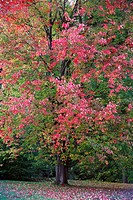 Red Maple Acer rubrum, showing autumn colour, Germany