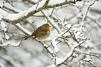 Robin Erithacus rubecula, perched on snow covered bush in garden