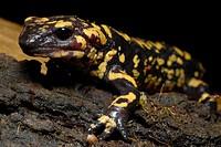 Common Salamander (Salamandra salamandra) in Buçaco Nature Park, Portugal