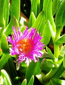 Hottentot fig (aka Ice plant flower), Carpobrotus edulis, ground cover