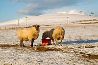 ORPHIR ORKNEY Sheep and lamb snow covered field eating fodder hay and winter supplements