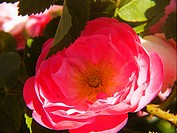 roseraie,saint galmier,loire, France