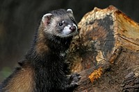 Close_up of European polecat Mustela putorius on woodpile, UK