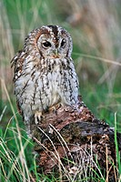 Tawny owl Strix aluco portrait on tree stump, England, UK