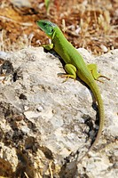 Balkan Green Lizard (Lacerta, trilineata)