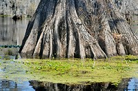 roots of cypress tree in swamp