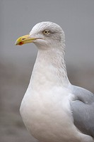 Herring Gull Larus argentatus adult, winter plumage, close_up of head and neck, Norfolk, England