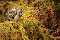 Long_eared Owl Asio otus adult, perched on larch tree in coniferous woodland, North Yorkshire, England, autumn