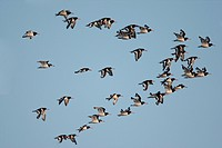 Eurasian Oystercatcher Haematopus ostralegus flock, in flight, Norfolk, England