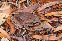 Northern Barred Frog Mixophyes schevilli adult, camouflaged on leaf litter, Atherton Tablelands, Queensland, Australia