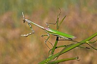 Conehead Mantis Empusa pennata adult female, on stem, Spain