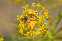 Crab Spider Thomisus onustus adult, yellow form, camouflaged on yellow flowers, feeding on prey, Spain