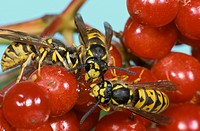 Common Wasp Vespula vulgaris three adults, feeding on berries, France