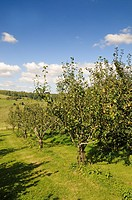 Common Pear Pyrus communis orchard with fruit, Cotswolds, Worcestershire, England, september