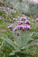Pyrenean Thistle Carduus carlinoides flowering, Pyrenees, France, july