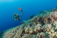 Taucher und Mördermuschel, Tridacna Squamosa, Mikronesien, Palau, Diver and Giant Clam, Tridacna Squamosa, Micronesia, Palau