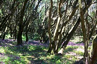 Spain _ Canary Islands _ La Gomera _ National Park of Garajonay _ Boque del Cedro _ Lauresilva laurel
