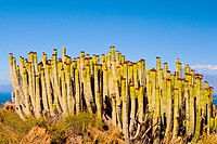 Spain _ Canary Islands _ La Gomera _ Euphorbia