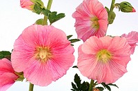 Malva real Althaea rosea