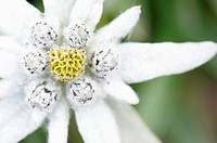 Close up of a Edelweiss Leontopodium alpinum flower