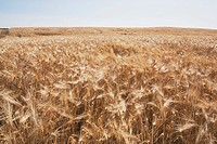 Ripe wheat field, Alberta, Canada