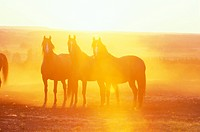 Three horses, Alberta, Canada