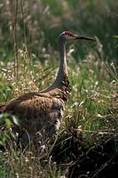 Sandhill Crane, Grus canadenis, Riefel Bird Sanctuary, Westham Island, British Columbia, Canada