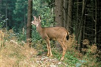 Black Tail Deer, Grouse Mountain, North Vancouver, British Columbia, Canada