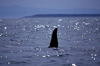 Orca, Killer whales in Haro Strait, off Vancouver Island, British Columbia, Canada