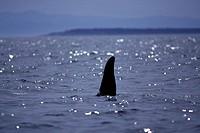 Orca, Killer whales in Haro Strait, off Vancouver Island, British Columbia, Canada